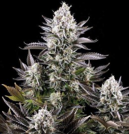 White Widow feminised bulk